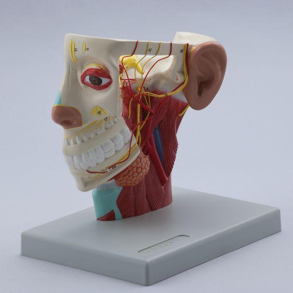 Nerves of Head - code: 6030.08 b