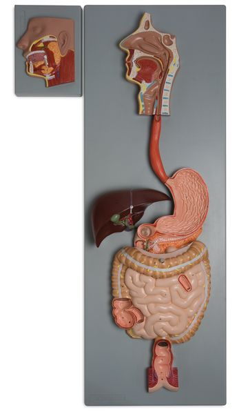 Human Digestive System, 3 Parts - code: 6090.01 a