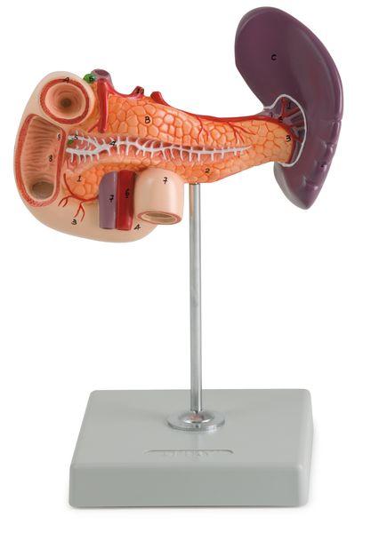 Pancreas, Duodenum and Spleen - code: 6090.11