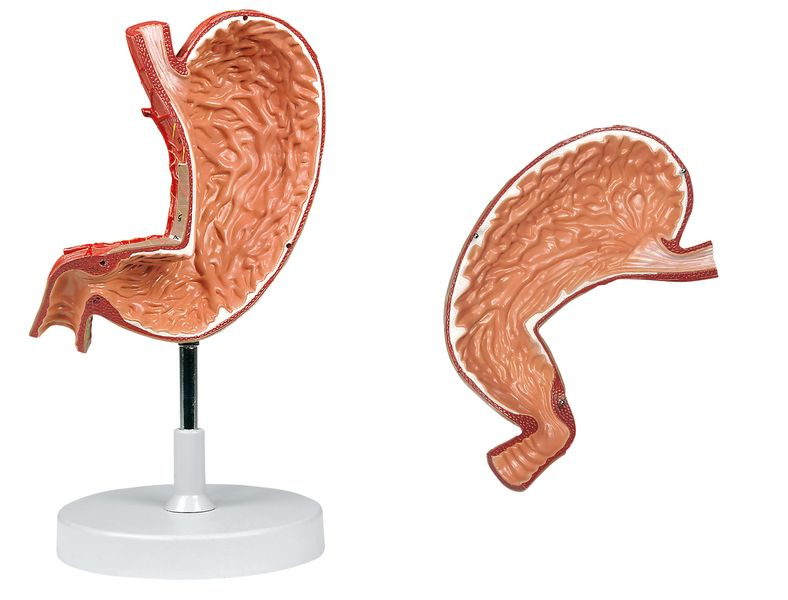 Stomach, 1.5X Life Size, 2 Parts - code: 6090.13 b