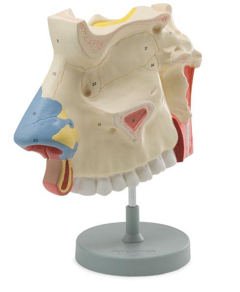 Nasal Cavity, 3 Parts - code: 6120.06 b
