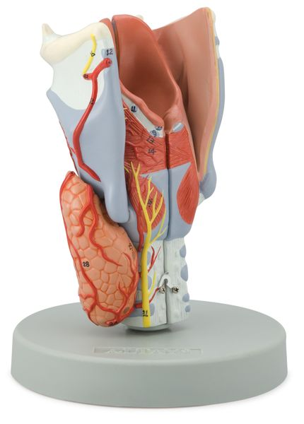 Larynx model, 2 Times Enlarged, 5 Parts - code: 6120.11 a