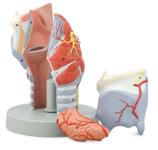 Larynx model, 2 Times Enlarged, 5 Parts - code: 6120.11 b