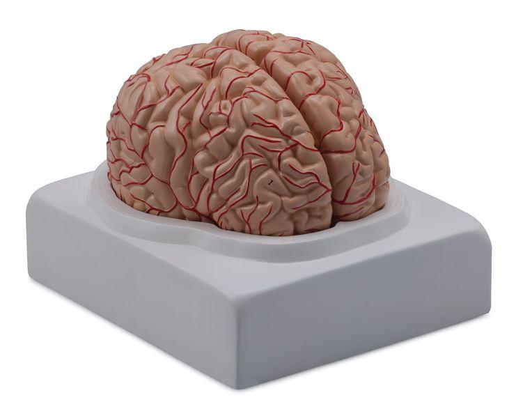 Brain with Arteries, 2 Parts - code: 6160.01 c