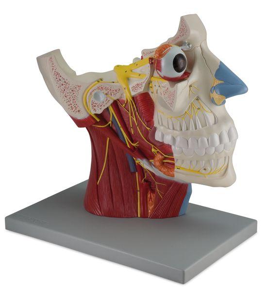 Cranial and Autonomic Nerves - 2 Parts - code: 6160.07 a