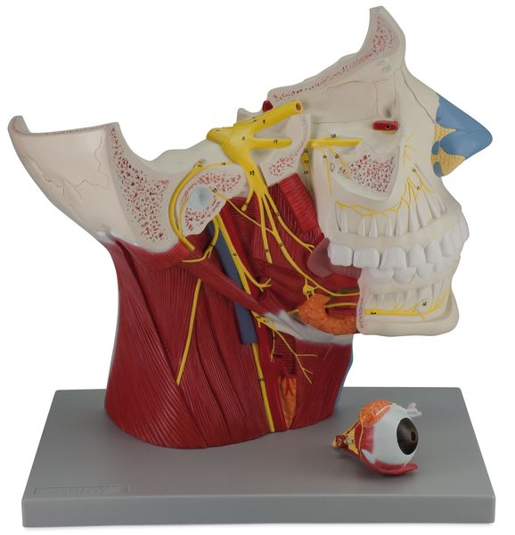 Cranial and Autonomic Nerves - 2 Parts - code: 6160.07 b