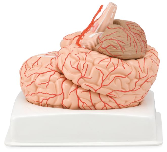 Brain with Arteries, 9 Parts - code: 6160.14 a