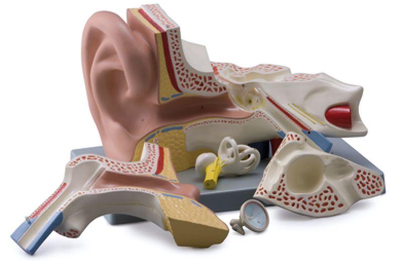 Ear, 5 Parts - code: 6220.09