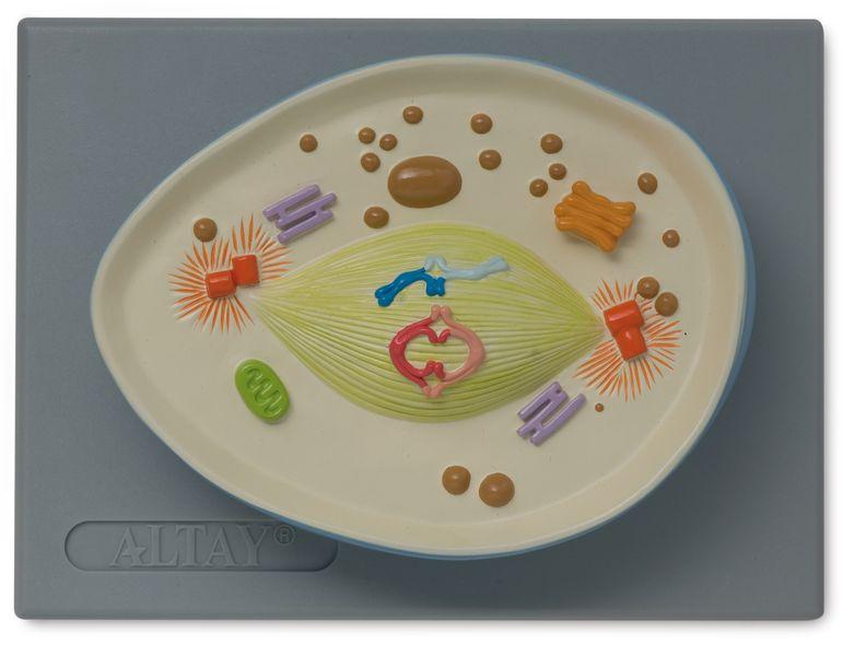 Cell Meiosis Model - code: 6232.03 g