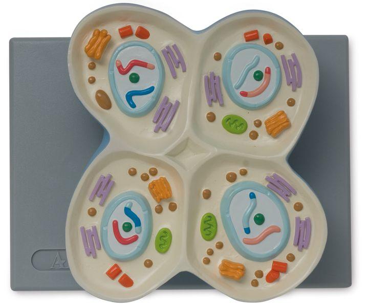 Cell Meiosis Model - code: 6232.03 n