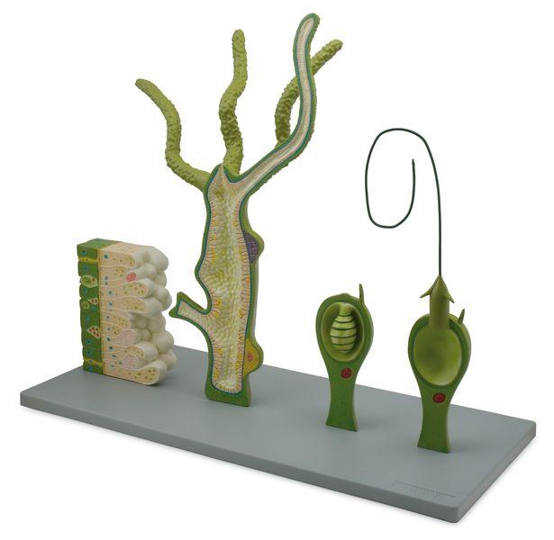 Hydra Model, 4 Parts - code: 6280.12 b