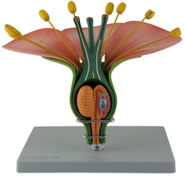 Hermaphrodite Dicot Flower - code: 6310.06 a