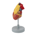 Human Heart with Thymus - code: 6070.16