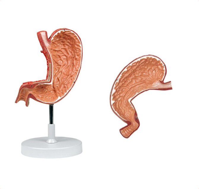 Stomach, 1.5X Life Size, 2 Parts - code: 6090.13 rect