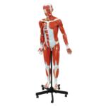 Muscular Figure, 32 Parts, 140 cm - code: 6000.59