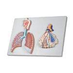 Human Respiratory System with Magnified Alveolus - code: 6120.02