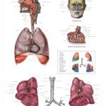 The Human Respiratory System Anatomical Wall Chart - code: 6710.00
