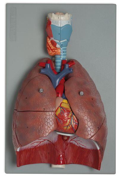 Human Respiratory System, 7 Parts - code: 6120.15 b