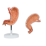 Stomach, 1.5X Life Size, 2 Parts - code: 6090.13